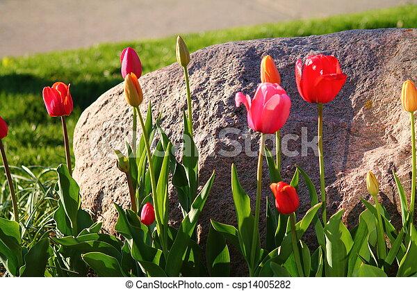 Garden Tulips - csp14005282