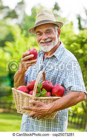 Gardener holds a basket of ripe apples - csp25073281