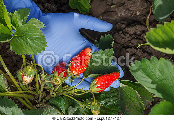 Gardener is holding ripe strawberries in hand dressed in blue latex glove - csp61277427