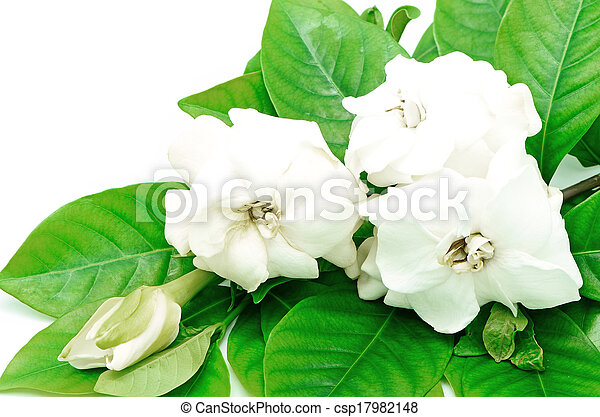 White gardenia flower or cape jasmine gardenia stock photo gardenia csp17982148 mightylinksfo