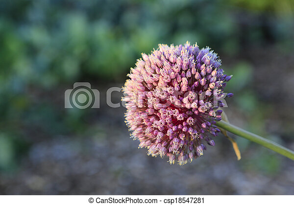Garlic flower bloom. - csp18547281