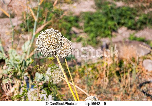 Garlic flower - csp16642119