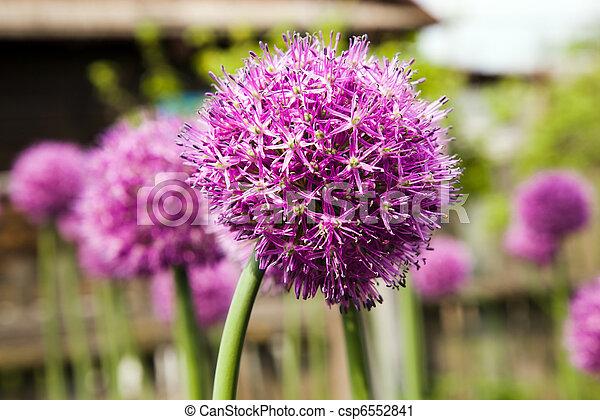 Garlic flower - csp6552841