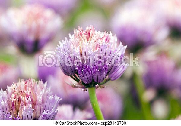 garlic flower - csp28143780