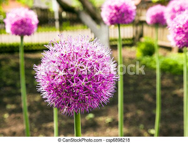 Garlic flower - csp6898218