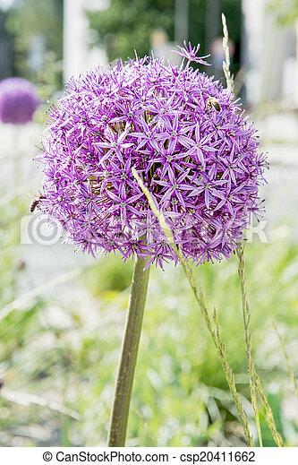 Garlic flower - csp20411662