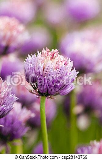 garlic flower - csp28143769