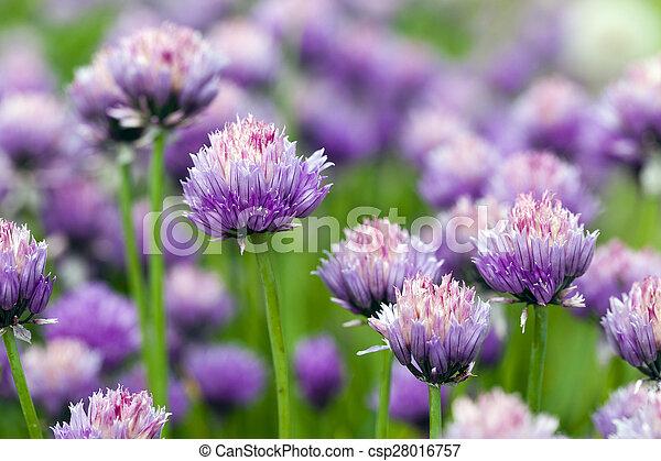 garlic flower - csp28016757