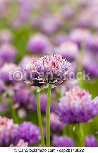 garlic flower - csp28143822
