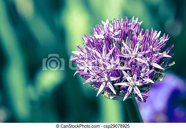 garlic flower - csp29078925