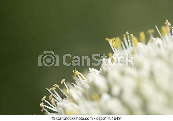 garlic flower - csp51781649