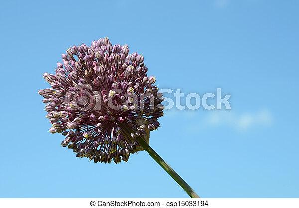 Garlic Flower - csp15033194