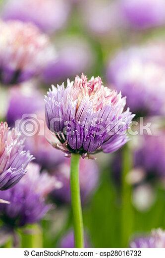 garlic flower - csp28016732
