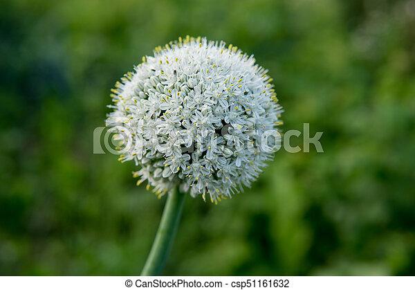 garlic flower - csp51161632