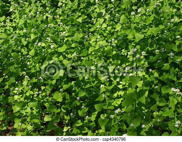 Garlic Mustard (Alliaria petiolata) - csp4340796