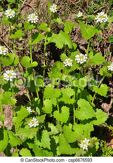 Garlic mustard (Alliaria petiolata) - csp6676593