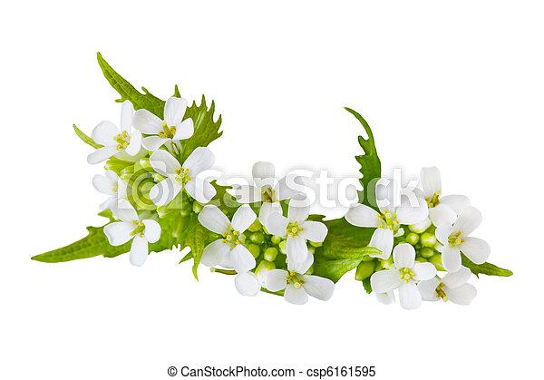 Garlic Mustard flower - csp6161595