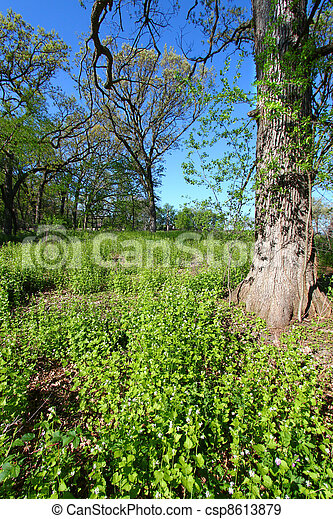 Garlic Mustard in Oak Forest - csp8613879