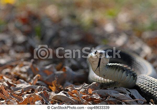 Garter Snake In The Grass - csp48633339