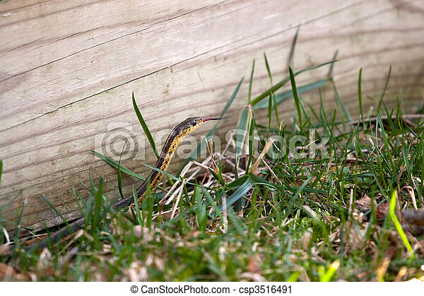Garter Snake - csp3516491