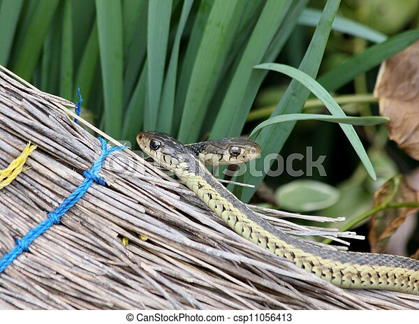 garter snakes and broom - csp11056413