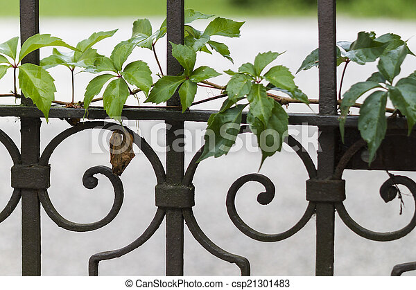 gate with ivy - csp21301483