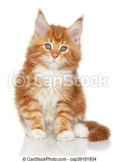 Un gatito de Mainecoon en un fondo blanco - csp39181934