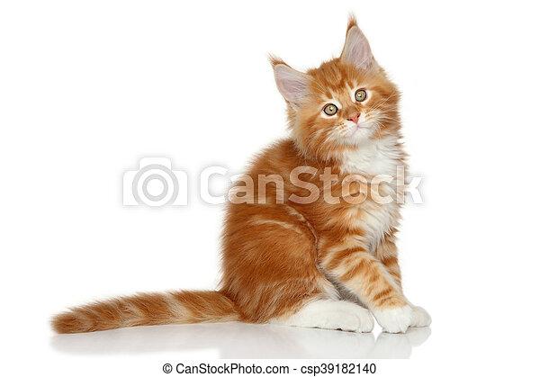 Un gatito de Mainecoon en un fondo blanco - csp39182140