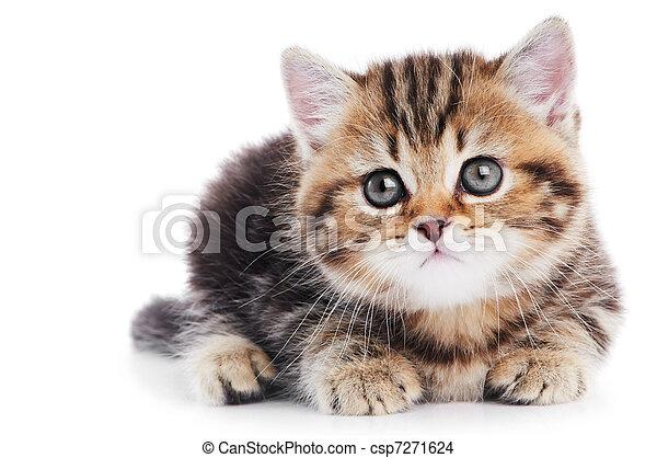 Gato gatito británico de pelo corto aislado - csp7271624