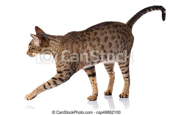 Gato bicolor marrón en un fondo blanco, vista lateral - csp49862100