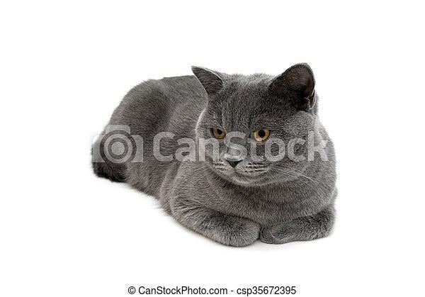 Gato gris tumbado en un primer plano de fondo blanco. - csp35672395
