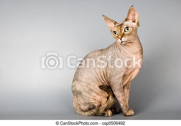 gato, raça, sphynx, canadense - csp0506492