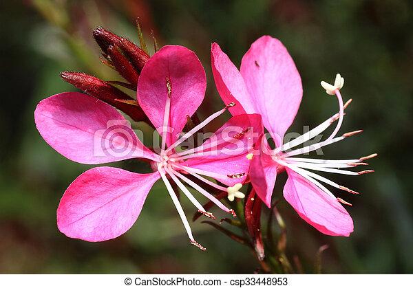 Gaura lindheimeri pink cloud gaura lindheimeri flowers stock gaura lindheimeri pink cloud csp33448953 mightylinksfo