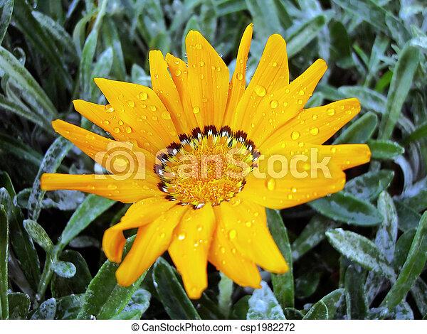 gazania, fleur - csp1982272