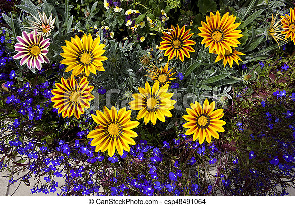 Gazanias And Lobelia Background Image Of Bright Yellow Gazania