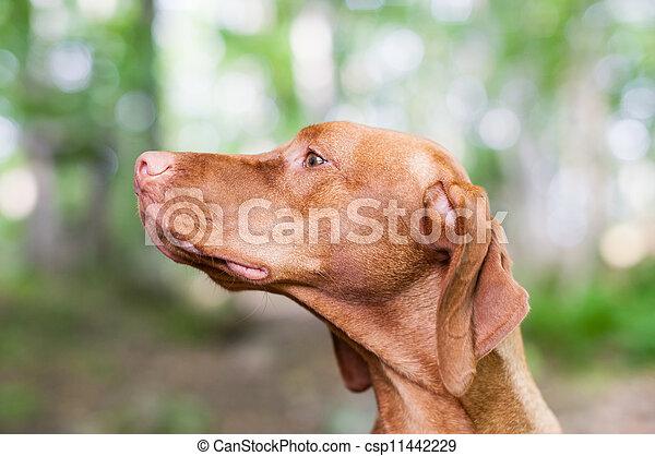 Gazing Vizsla Dog - csp11442229