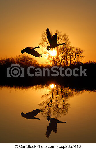 Geese and  Riparian Reflection - csp2857416
