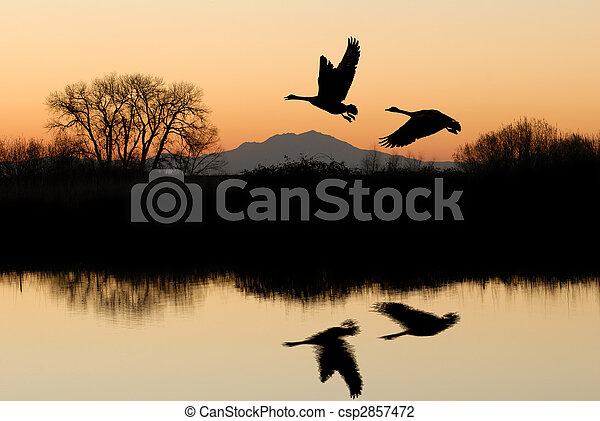 Geese and Riparian Reflection - csp2857472