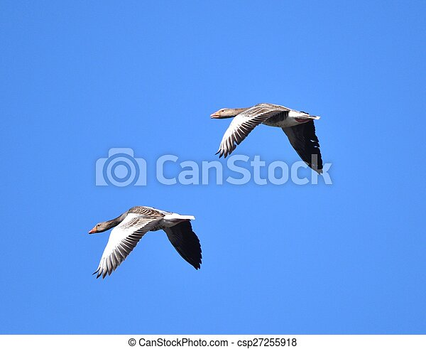 geese flying - csp27255918