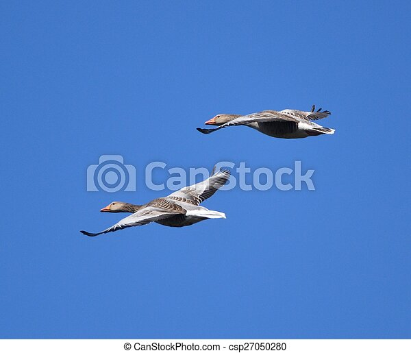 geese flying - csp27050280