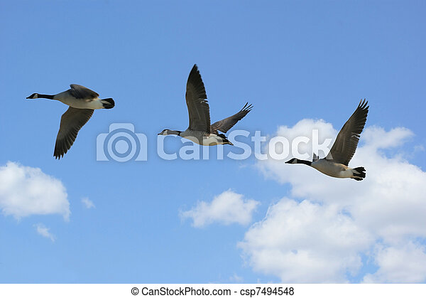 Geese Flying - csp7494548