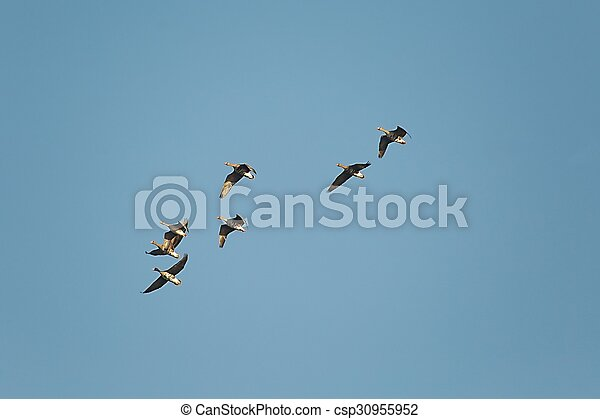 Geese Flying - csp30955952