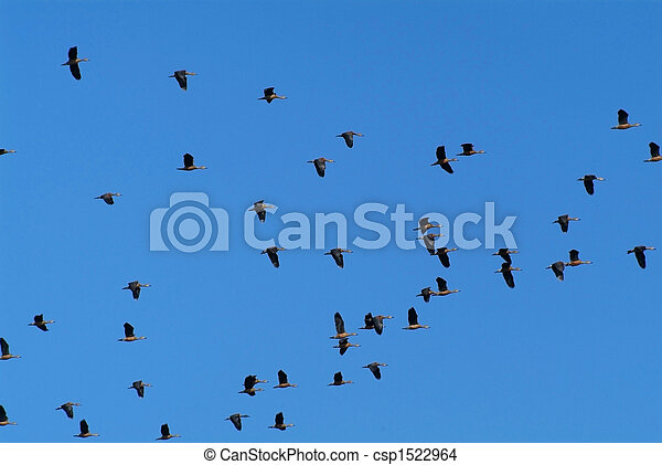 Geese flying - csp1522964