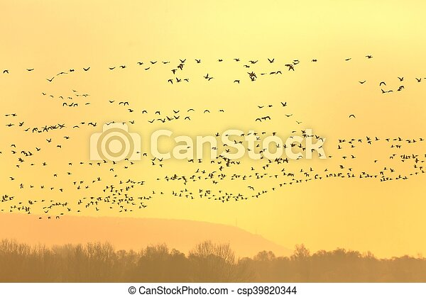 Geese Flying - csp39820344