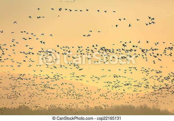 Geese Flying - csp22165131
