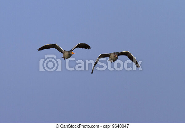 geese flying together - csp19640047