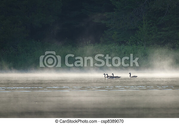 Geese on Misty Lake - csp8389070