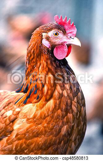 Hühner auf der traditionellen, kostenlosen Geflügelfarm - csp48580813