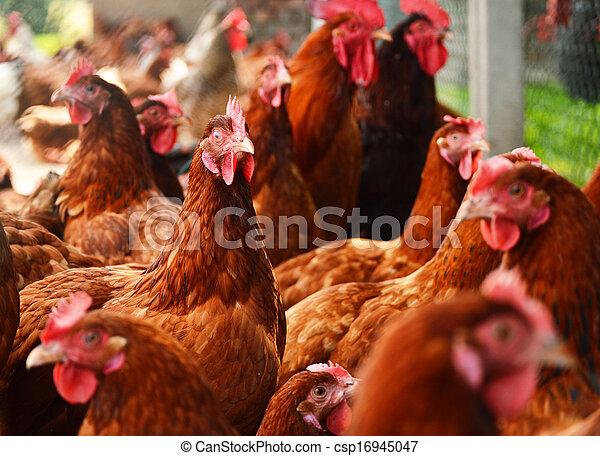 Hühner auf der traditionellen, kostenlosen Geflügelfarm - csp16945047