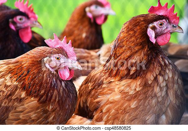 geflügel, bauernhof, hühner, frei, traditionelle , bereich - csp48580825
